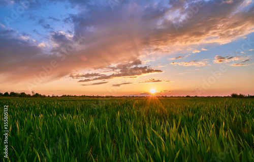 Fototapeta Field with green wheat on a background of stunning sunset