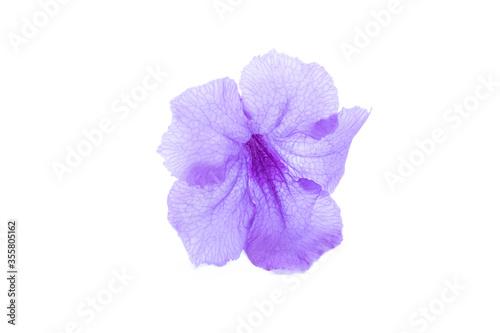 Photo Violet flower,Ruellia squarrosa on a white background,Hygrophila erecta,Watrakan