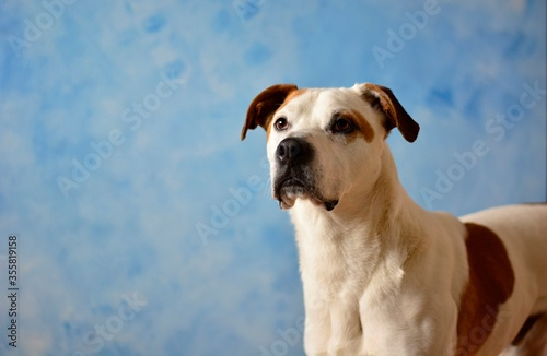 Photo Cute beautiful dog american pitbull terrier portrait in blue atelier