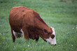 Leinwandbild Motiv Large white-faced red Hereford cow grazing in rural Quebec City field during a rainy spring afternoon, Quebec, Canada