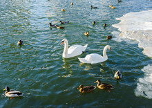 A Flock Of Ducks And Two White...