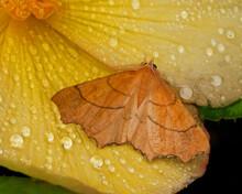 August Thorn Moth On A Wet Leaf