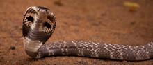 Royal Cobra In Sri Lanka