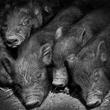 Close Up Of Young Cute Little Piglets Sleeping On A Pig Farm Black And White Monochrome Image Stock Photo