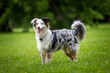 Australian Shepherd in the park