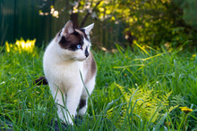 White And Black Cat On A Green Meadow.Cute Animal With Blue Eyes.