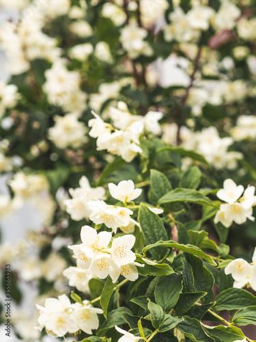 Foto Philadelphus coronarius (sweet mock-orange, English dogwood) white spring flower