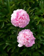 Paeonia Lactiflora Sarah Bernh...