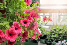 Hanging Braided Flowers In Pots. Petunias. Growing Flowers In A Greenhouse. Home Gardening.