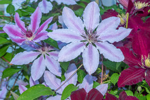 Purple And Pink Clematis Flowers Blooming On Vine In Garden In Spring