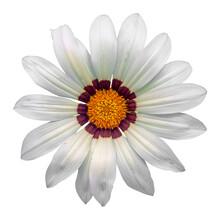Gazania Sun Flower On White Ba...