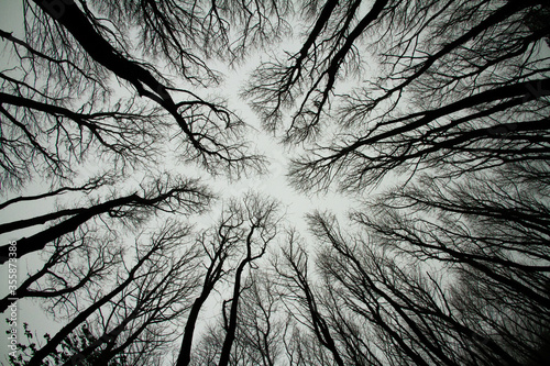 Looking up at spooky trees in dark woodlands Canvas Print