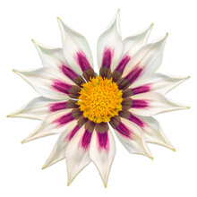 Gazania Sun Flower On White Ba...