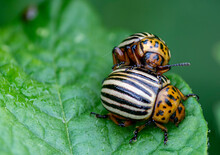 Colorado Potato Beetles Mating...