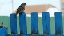 Bird Sparrow Sitting On The Fe...