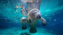 Manatee Mother And Baby At Cry...