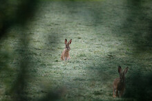 Two Wild Rabbits On A Meadow