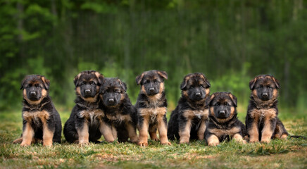 group of seven german shepherd puppies posing outdoors in summer