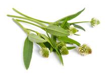 Trifolium Montanum, The Mounta...