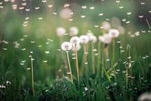 Many White Dandelion Flowers O...