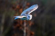 Barn Owl (Tyto Alba) Hunting A...