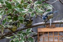 Bluetit, Cyanistes Caeruleus, Fledgeling And Adult Looking At A Garden Suet Bird Feeder