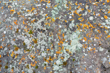 Lichens Growing On A Basalt Ro...