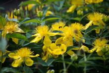 Closeup Of Sunlight On Yellow Millepertuis Flowers In A Public Garden