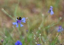 Bumblebee On Wild Flower In Ge...