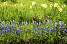 Flowerbed With Hyacinths And N...