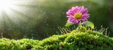 Beautiful Pink Chrysanthemum I...