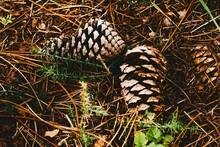 Closeup Shot Of Pine Cones Fal...