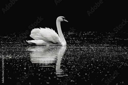 Black and white image of a mute swan (Cygnus olor) swimming in pond Canvas Print