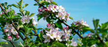 A Closeup Of Apple Blossoms On...