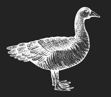 Hand Drawn Farm Bird Illustration. Vector Poultry Sketch On Chalk Board. Vintage Goose