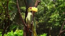 A Beautiful Green Parrot Pecks...