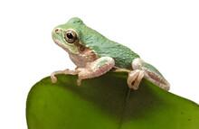 Green Tree Frog On White Backg...