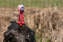 Black Spanish Of Norfolk Black Turkey. Black A Turkey Bird Stands On Background Of Grass