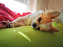 Chihuahua Is Resting On The Co...