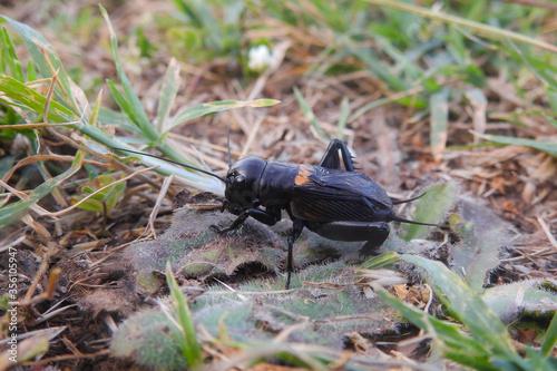 Foto Grillo campestre (Gryllus campestris) ritratto nel prato verde