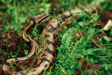 A Large Snake Creeps In Grassy...