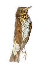 Dead Bird (song Thrush) Isolated On White Background.