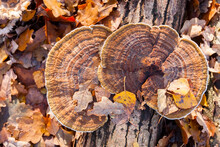 Autumn Leaves And Turkey Tail Fungus Growing On A Rotting Log In The Forest.