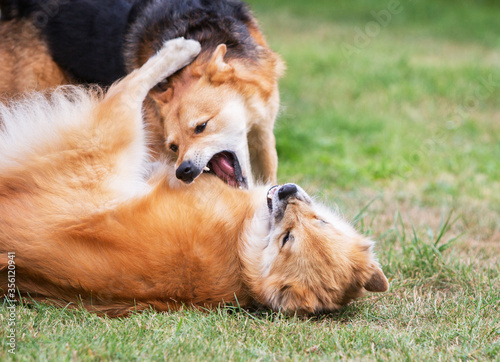 Papel de parede Two dog play fighting on the grass.