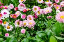 A Carpet Of Light Pink Daisies Bellis Perennis Close-up. Horizontal Orientation.