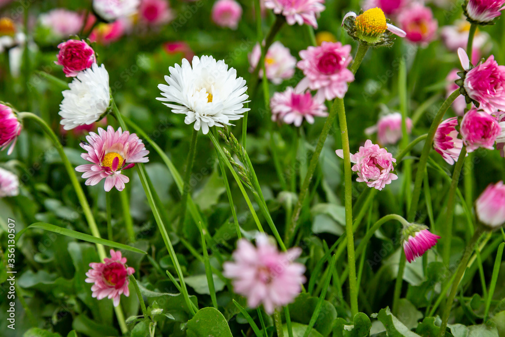 Glade of white and pink daisies close-up. Horizontal orientation.