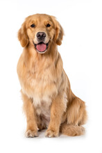 Happy Dog Golden Retriever Seated On White Backgroud