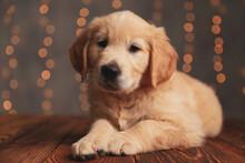 Cute Golden Retriever Dog Layi...