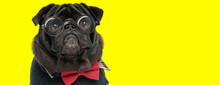 Adorable Pug Puppy Wearing Glasses And Red Bowtie