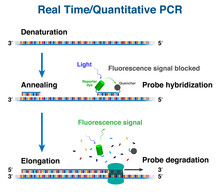 The Cycles Of CDNA Molecule Amplification By Real Time/ Quantitative Polymerase Chain Reaction, RT-PCR Or Q-PCR